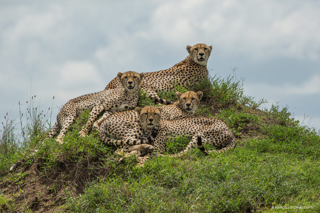 Família de Guepardos, Serengeti, Tanzânia